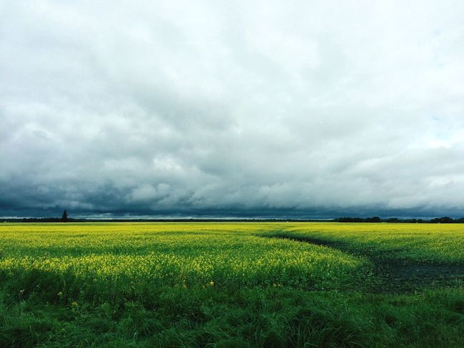 Yellow fields and grey skies