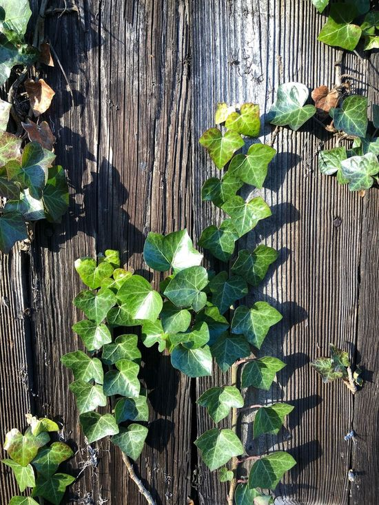 Ivy on the fence Wood Fence Wood Fence Ivy Wood - Material Leaf Growth Outdoors Plant High Angle View No People Day Nature Close-up Beauty In Nature