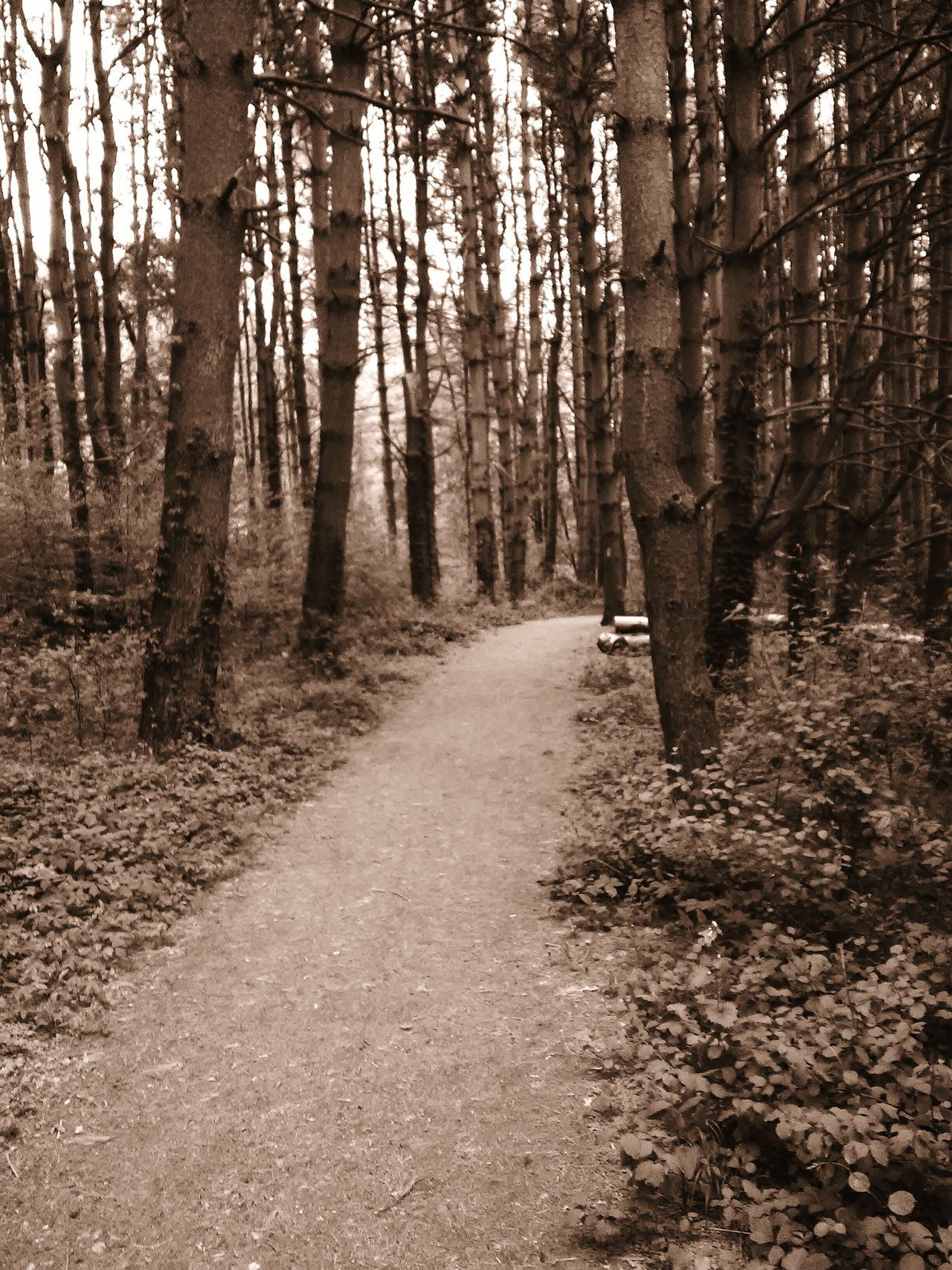 Sepia_collection Show Me Your Sepia Walking Through The Woods Looking For Freedom EyeEm Nature Lover Trees Barren Trees Take A Walk Get Outside Get Lost Somewhere