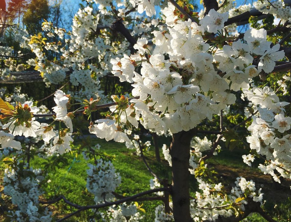 Cherry blossoming Flower Growth Nature Beauty In Nature Fragility Freshness White Color Petal Plant No People Blooming Day Flower Head Outdoors Tree Springtime Close-up Water