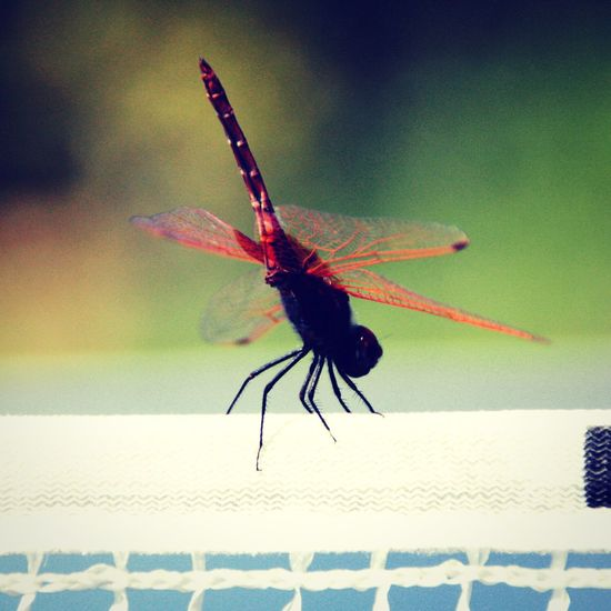 Dragonfly Insect Dragonfly Animals In The Wild Outdoors Day Close-up Canon Photo Photography Animal Animal Close Up Ping Pong Depth Of Field