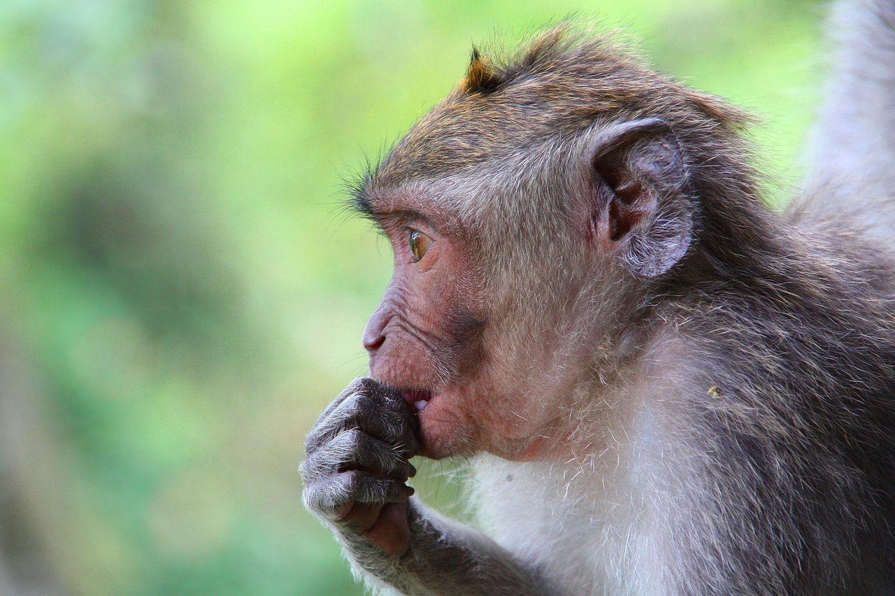 """Monkey to """"monkey forest"""", Ubud/indonesia/Abli Animal Animal Themes Bali, Indonesia Forest INDONESIA Monkey Monkey Forest Ubud Nature Outdoors Primate Ubud"""