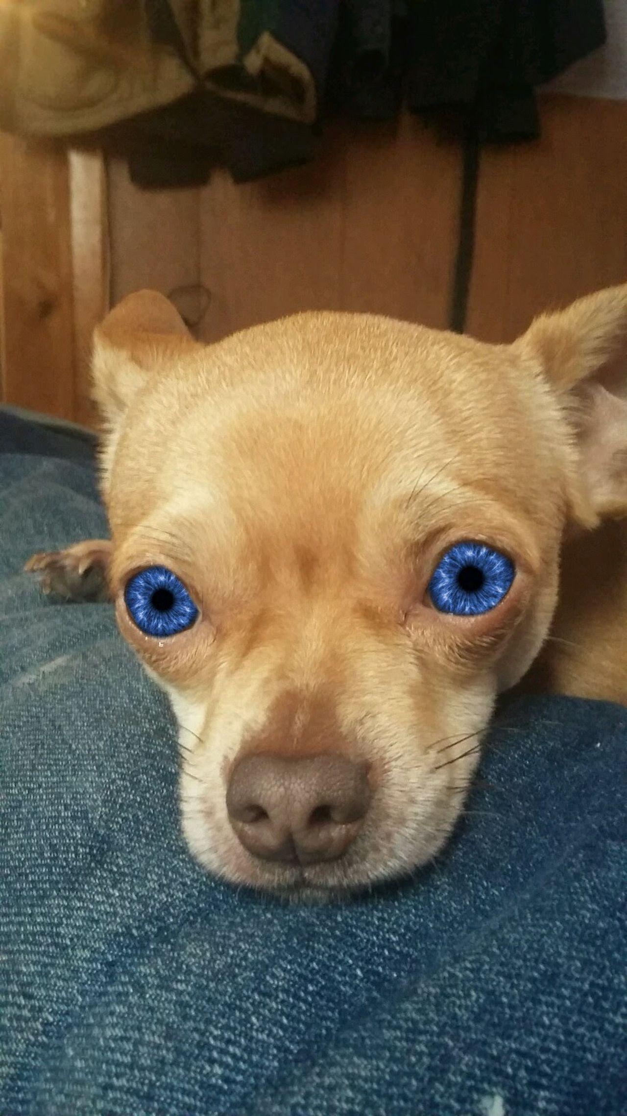 Chihuahua pet dog Animal Themes Dog Pets Small Animal Dog❤ Dog Life Dog Lover Doggy Love