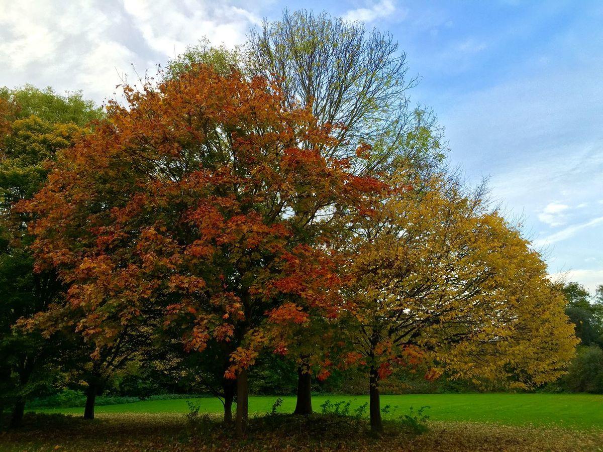 Autumn Red Leaves Yellow Leaves Autumnal Colours Park Trees Laleham Park