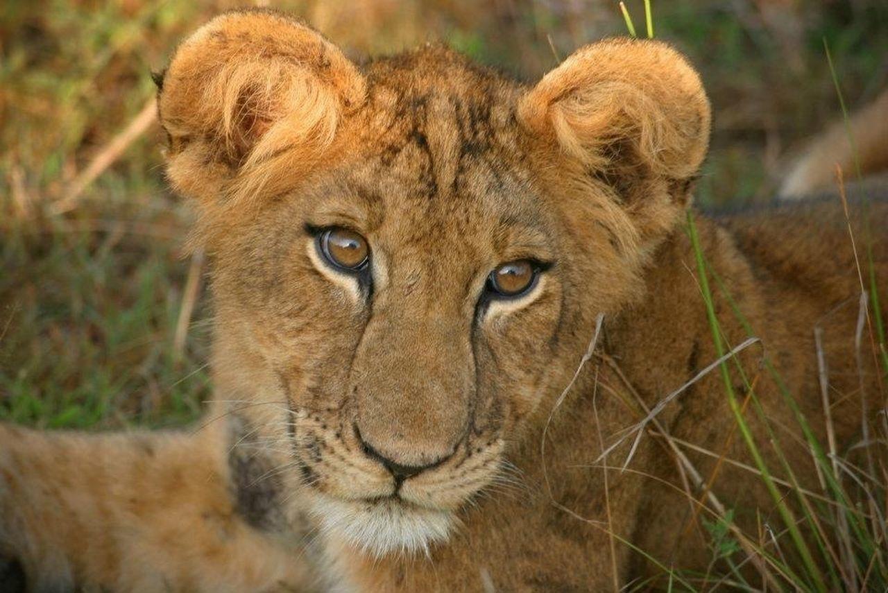 Beautiful stock photos of lion, Animal Head, Animal Themes, Animals In The Wild, Captive Animals