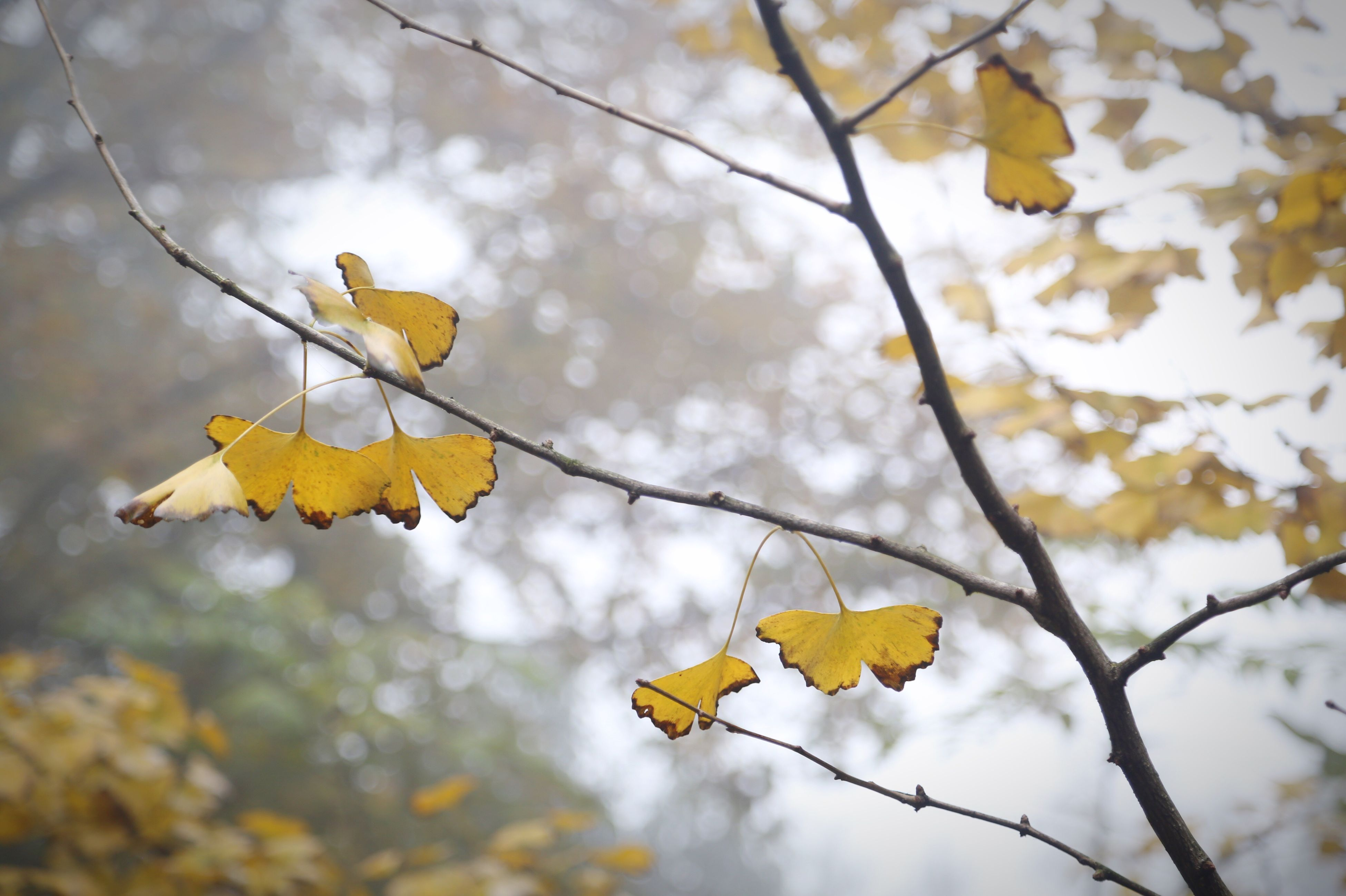 autumn, nature, leaf, change, beauty in nature, tree, growth, yellow, focus on foreground, outdoors, no people, day, low angle view, leaves, branch, close-up