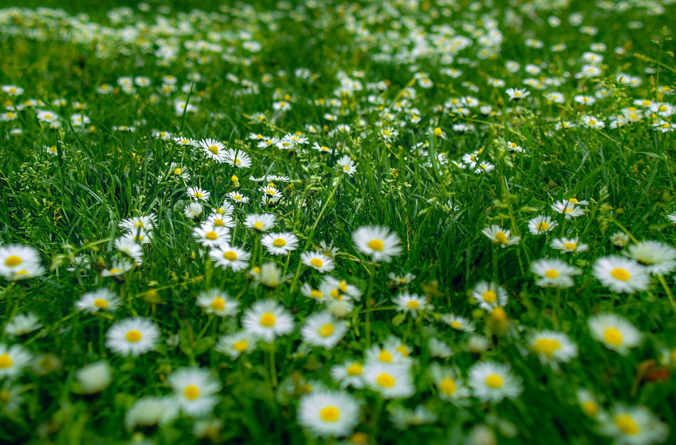 Grass Flower Nature Meadow Selective Focus Uncultivated Beauty In Nature Tranquility No People Fragility Outdoors Freshness Day Close-up Springtime Growth Summer Field Green Color Daisies Flowers Backgrounds Background Wallpaper