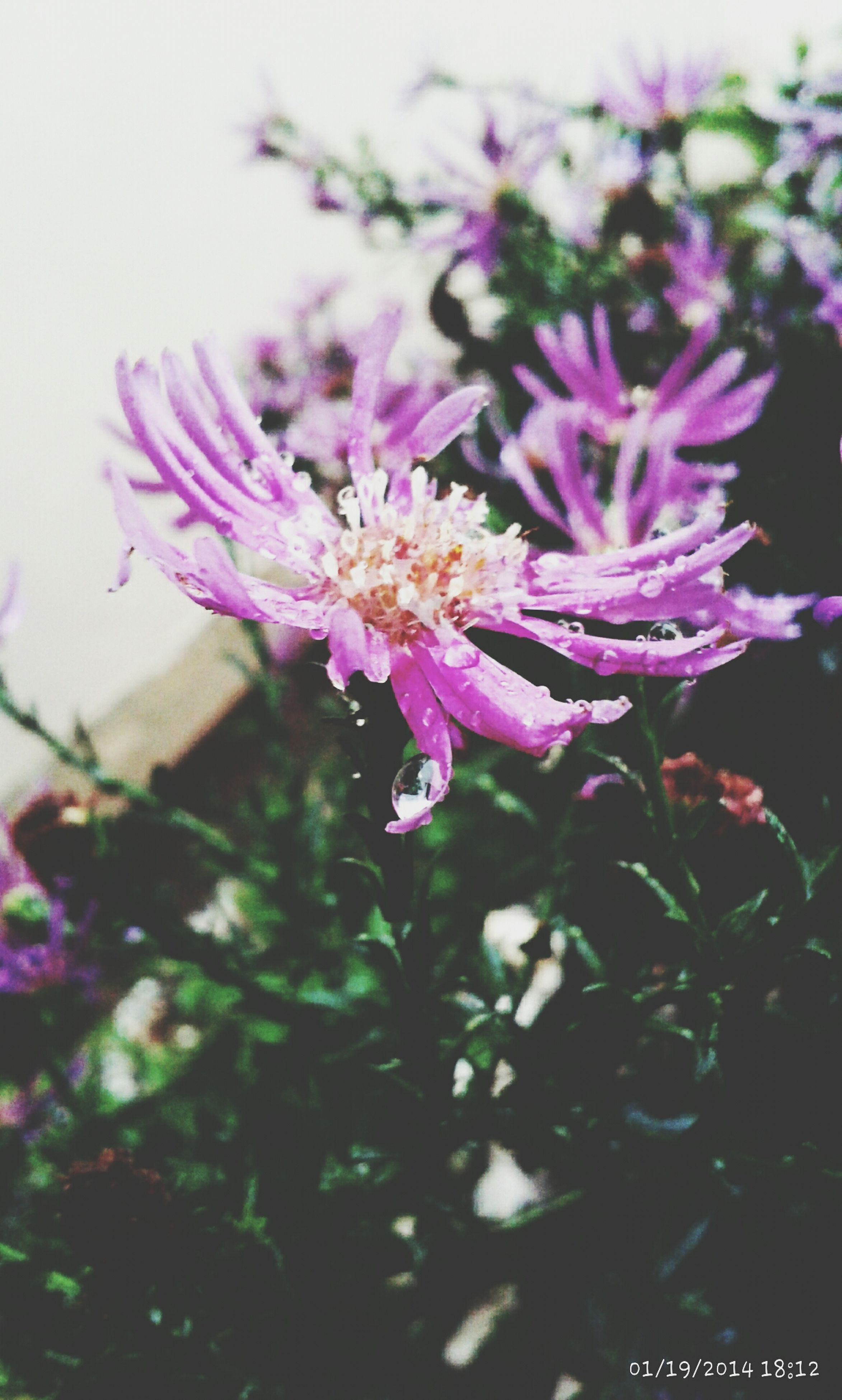 flower, fragility, freshness, pink color, petal, growth, beauty in nature, nature, close-up, focus on foreground, flower head, blooming, plant, pink, in bloom, stem, day, outdoors, no people, blossom