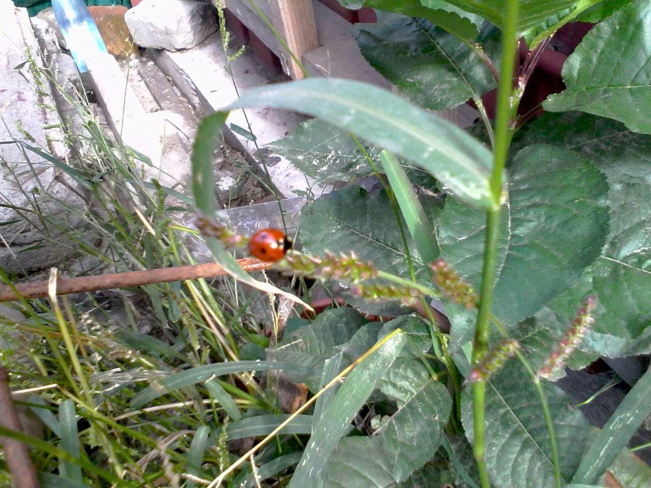 Ladybug Ladybeetle Green Plants Grass Unedited Eyeem Market Wolfzuachis
