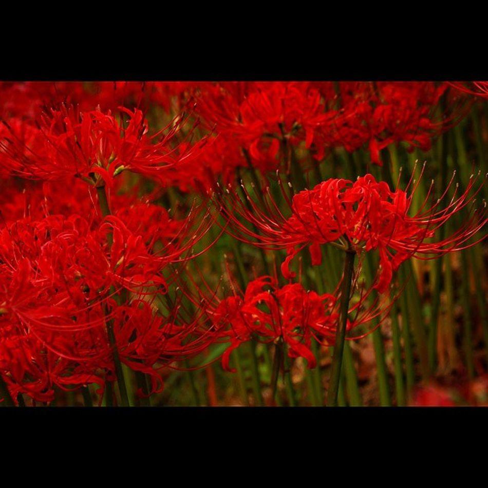 彼岸花 彼岸花 ひがんばな 曼珠沙華 リコリス 花 植物 羽黒山公園 Lycoris Lycorisradiata Redspiderlily