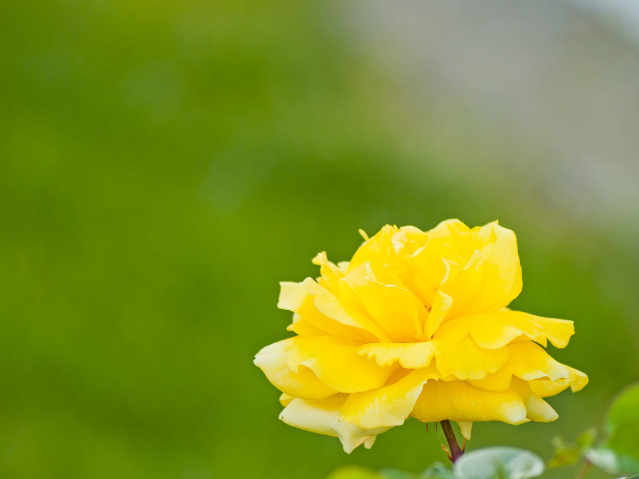 Backdrop Background Backgrounds Beauty In Nature Card Close-up Copy Space Day Flower Flower Head Fragility Freshness Growth Nature No People Outdoors Petal Plant Rose - Flower Roses Space For Text Spring Springtime Wallpaper Yellow Rose