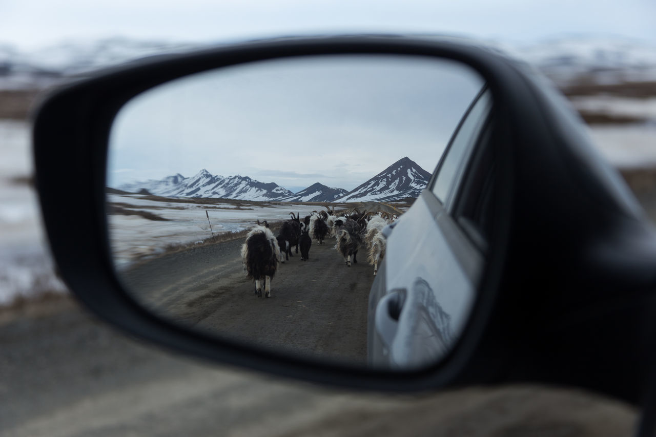 Goatrip Animal Themes Car Goat Goatrip Iceland Mirror Never Look Back  No People Outdoors Reflection Road Side-view Mirror