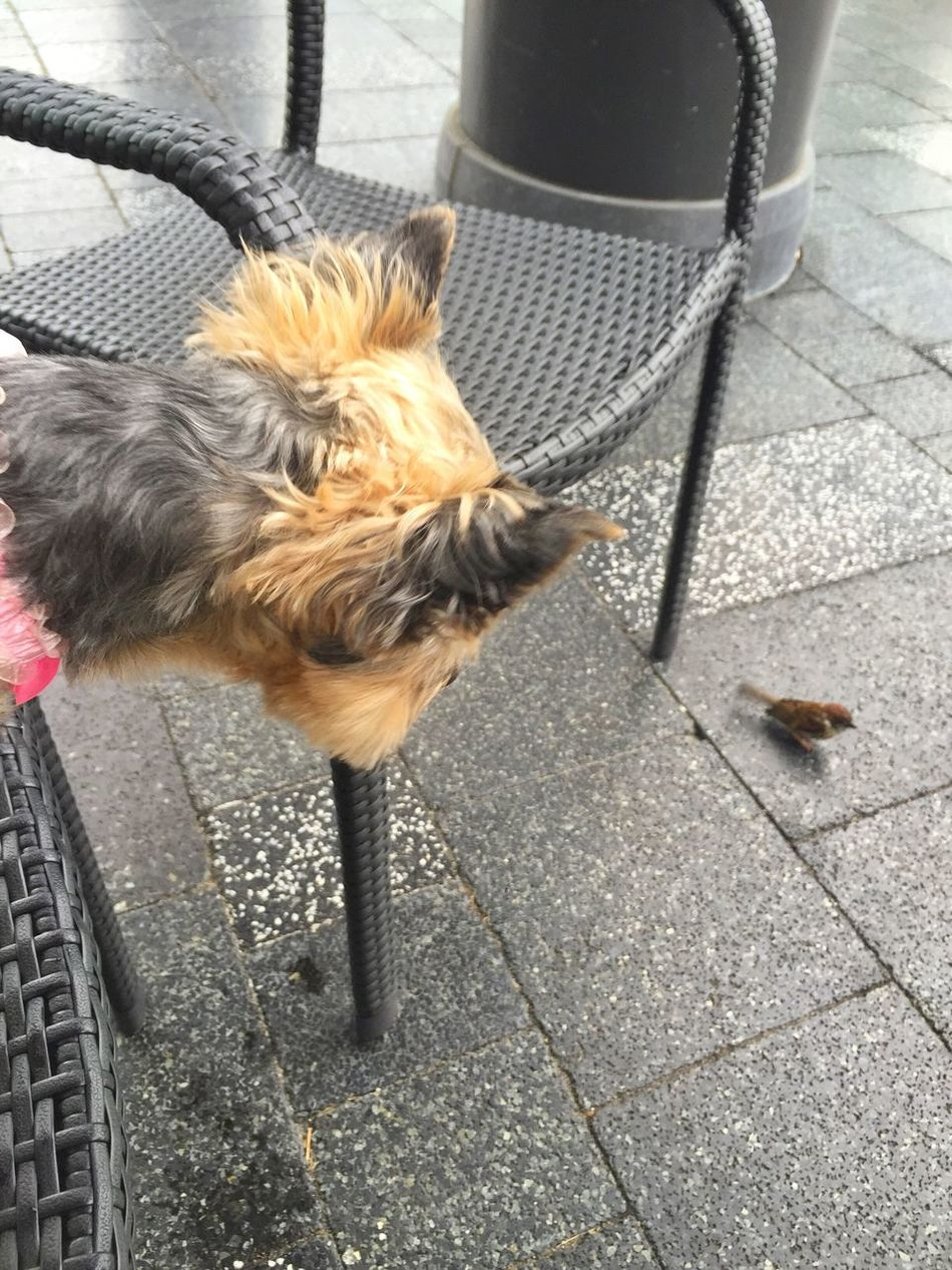 Dog Mydog Ilovemydog Sparrow Bird すずめ ヨークシャテリア ヨーキー 犬と小鳥