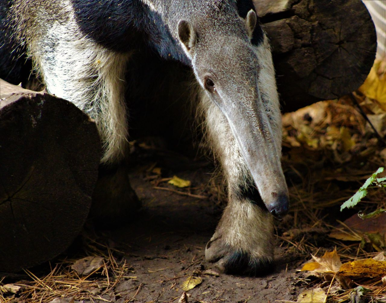 Animal Body Part Animal Head  Animal Themes Animal Wildlife Animals In The Wild Anteater Close-up Day Mammal Nature No People One Animal Outdoors Safari Animals