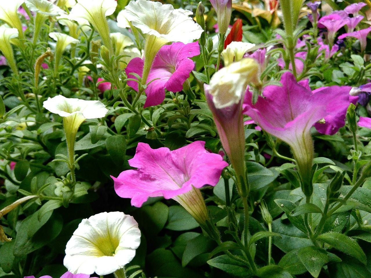 flower, petal, growth, fragility, freshness, beauty in nature, flower head, nature, plant, no people, green color, leaf, blooming, day, outdoors, close-up, petunia
