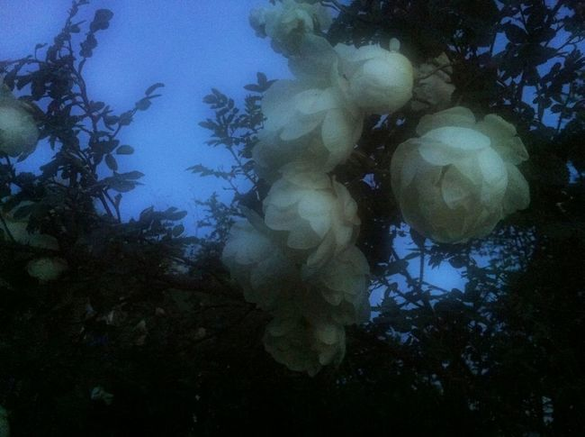Midnight roses Flowers Roses In My Garden Summer Nights