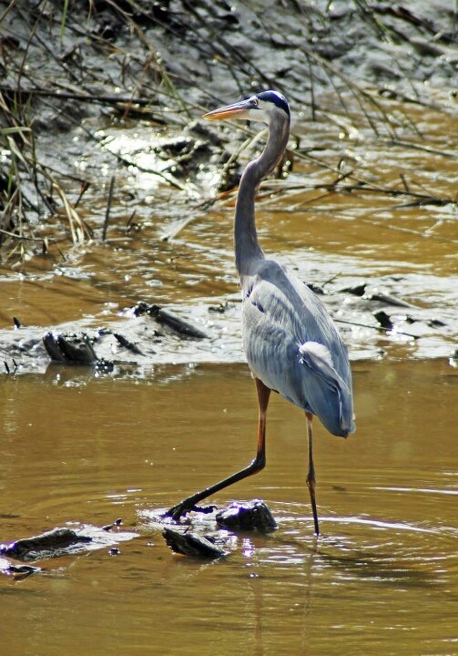 animal themes, bird, one animal, heron, animals in the wild, great blue heron, gray heron, animal wildlife, water, nature, reflection, lake, day, sunlight, no people, outdoors, perching, beauty in nature