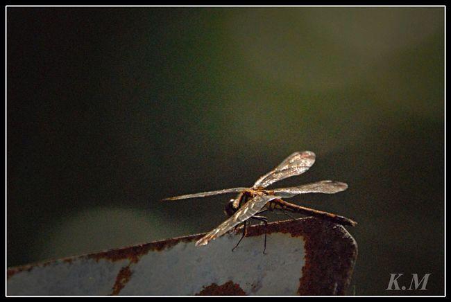 トンボひっそり Tadaa Community Dragonfly Karatsu 勝トンボ
