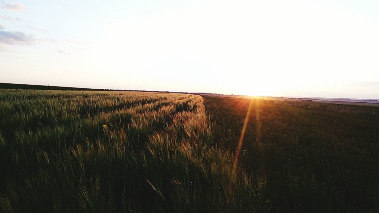 field, nature, sun, grass, landscape, growth, sunset, tranquil scene, sunlight, tranquility, scenics, agriculture, beauty in nature, crop, no people, rural scene, wheat, clear sky, sky, outdoors, cereal plant, day