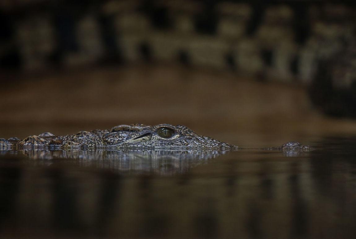 No People Animal Wildlife Wet Living Organism Natgeowild Natgeo Beauty In Nature Wildlife Wild Nature Water Crocodile Eye Close Up Nile Crocodile Reptile Swimming Water