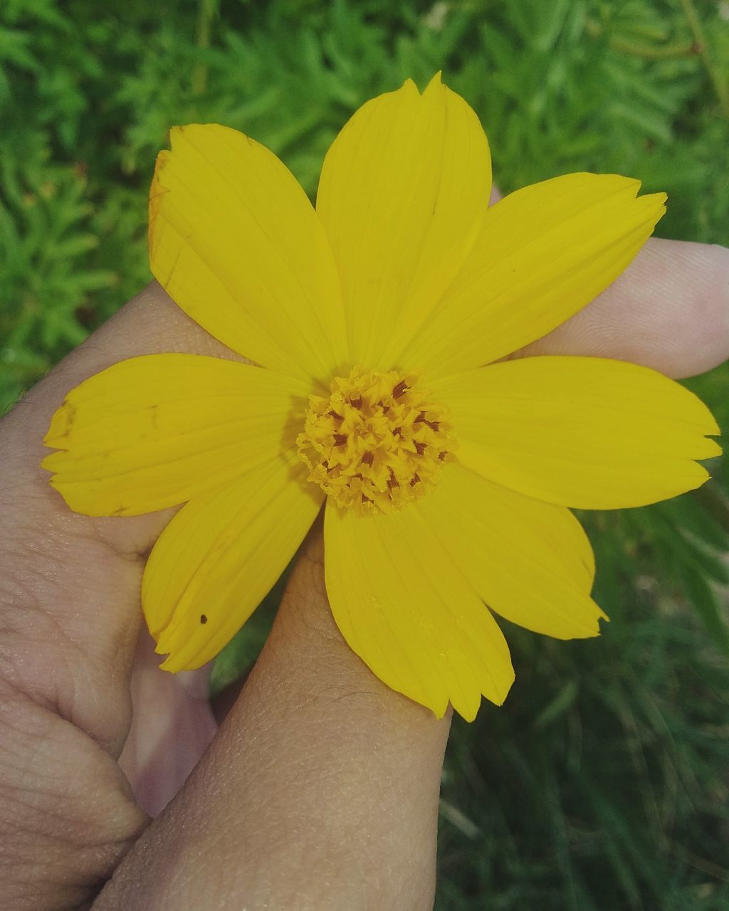 flower, human hand, human body part, yellow, one person, petal, holding, fragility, nature, flower head, beauty in nature, real people, freshness, close-up, outdoors, day, plant, people