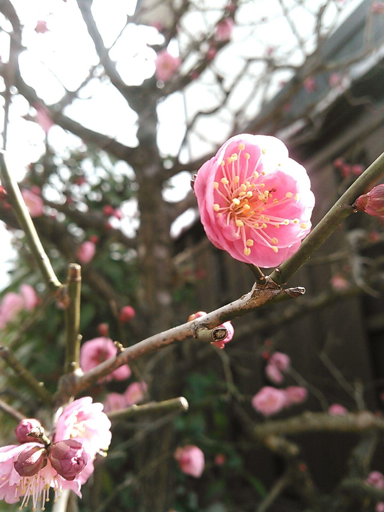 桃色の梅。 京都 Kyoto 花 Flowers 花木 梅 桃梅 Japanese Plum Blossom Pink Pink Flower 春 Spring Flowers