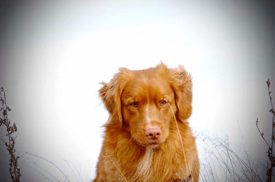 Dog Pets Animal Themes Domestic Animals One Animal Mammal Nova Scotia Duck Tolling Retriever Portrait Clear Sky No People Outdoors Nature Day