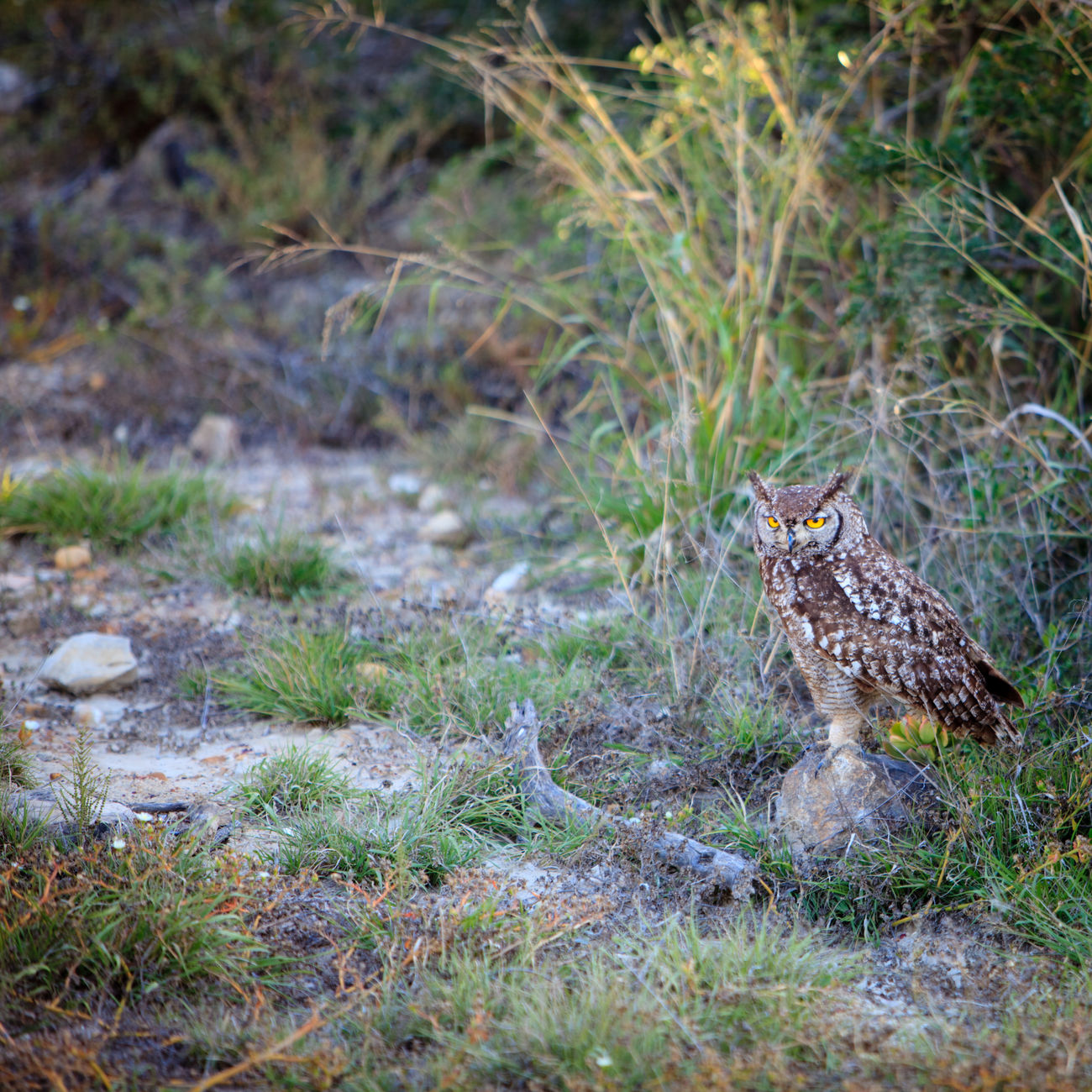 Owl camouflaged at dusk South Africa Addo Animal Themes Animal Wildlife Animals In The Wild Bird Bird Of Prey Camouflage Day Eastern Cape Field Grass Nature No People One Animal Outdoors Owl South Africa