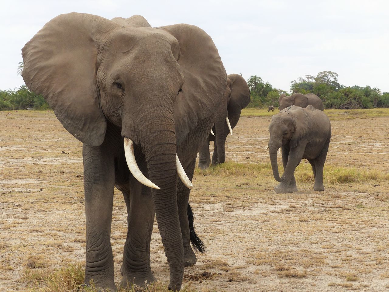elephant, animals in the wild, african elephant, animal themes, animal trunk, safari animals, animal wildlife, trunk, mammal, tusk, elephant calf, no people, day, walking, outdoors, young animal, nature, landscape, full length, standing, sky, tree, grass, beauty in nature