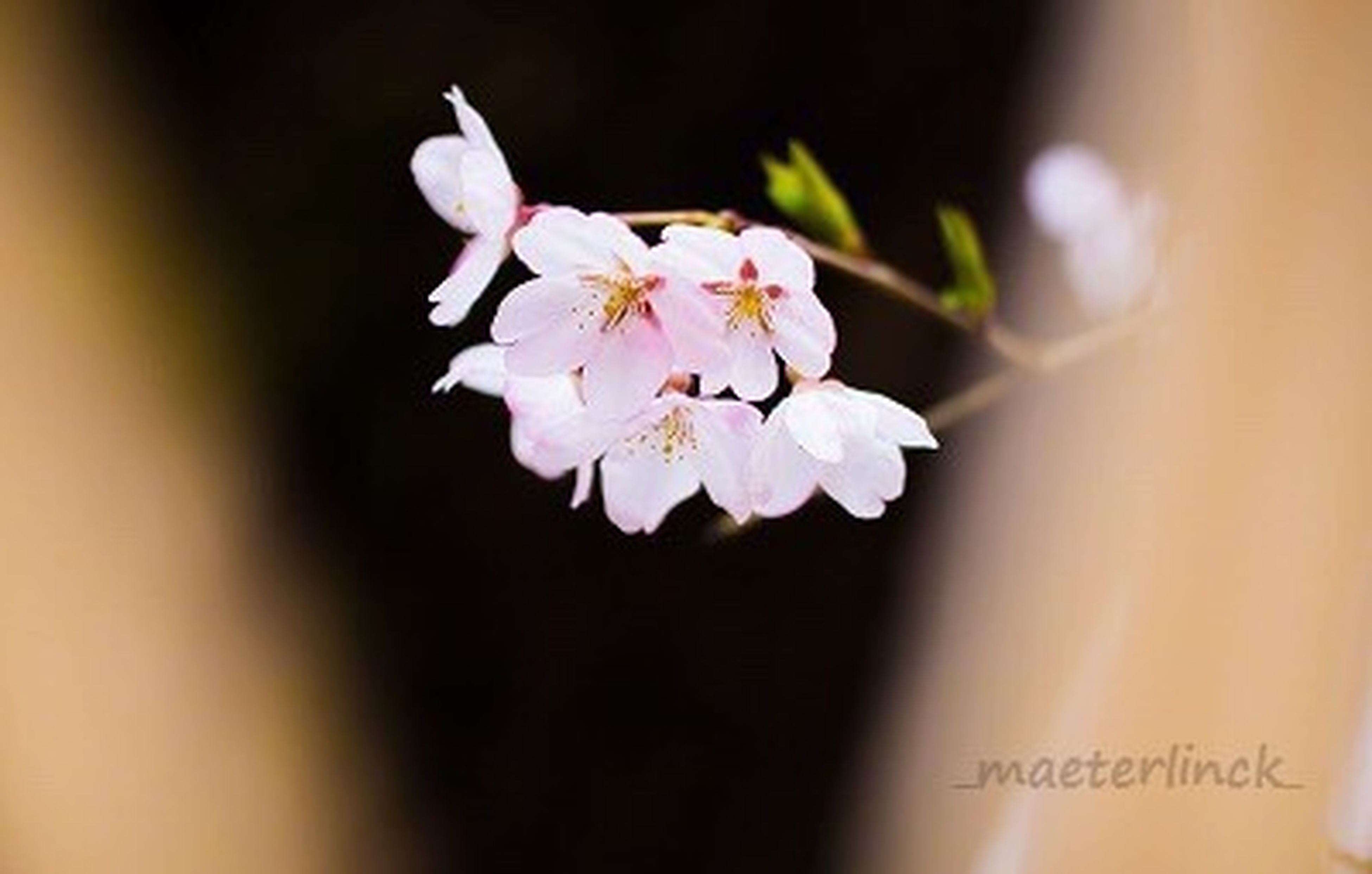 flower, petal, freshness, fragility, flower head, growth, beauty in nature, close-up, nature, stamen, blooming, focus on foreground, white color, blossom, stem, in bloom, pollen, selective focus, plant, springtime