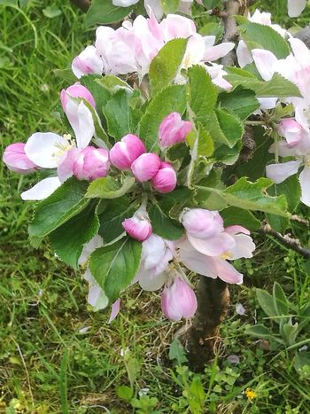 Apple Tree Nature Spring Huawei P9 Leica No Filter, No Edit, Just Photography