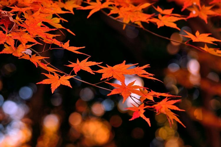 Orange By Motorola Orange Bokeh Japanese Maple Trees Reflected Glory Autumn Japan Creative Light And Shadow 43 Golden Moments 蔦裊裊 Fine Art Photography Colour Of Life Ultimate Japan Fall Beauty Yoz Focus Object TakeoverContrast