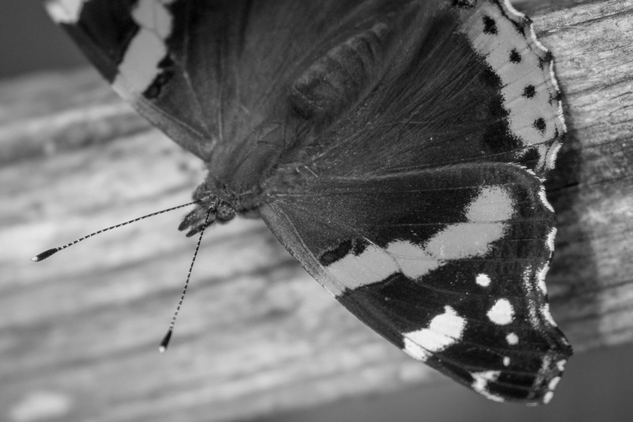 insect, butterfly - insect, animal wing, close-up, one animal, butterfly, animal themes, animals in the wild, no people, nature, outdoors, fragility, day