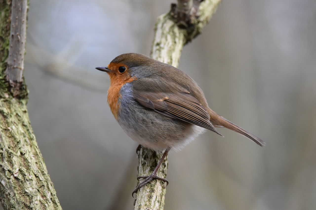 robin...hanningfield Animal Wildlife One Animal Animals In The Wild Animal Themes Focus On Foreground Bird Nature Songbird  Perching Beauty In Nature No People Close-up Living Organism Outdoors Day Robin NikonD5500