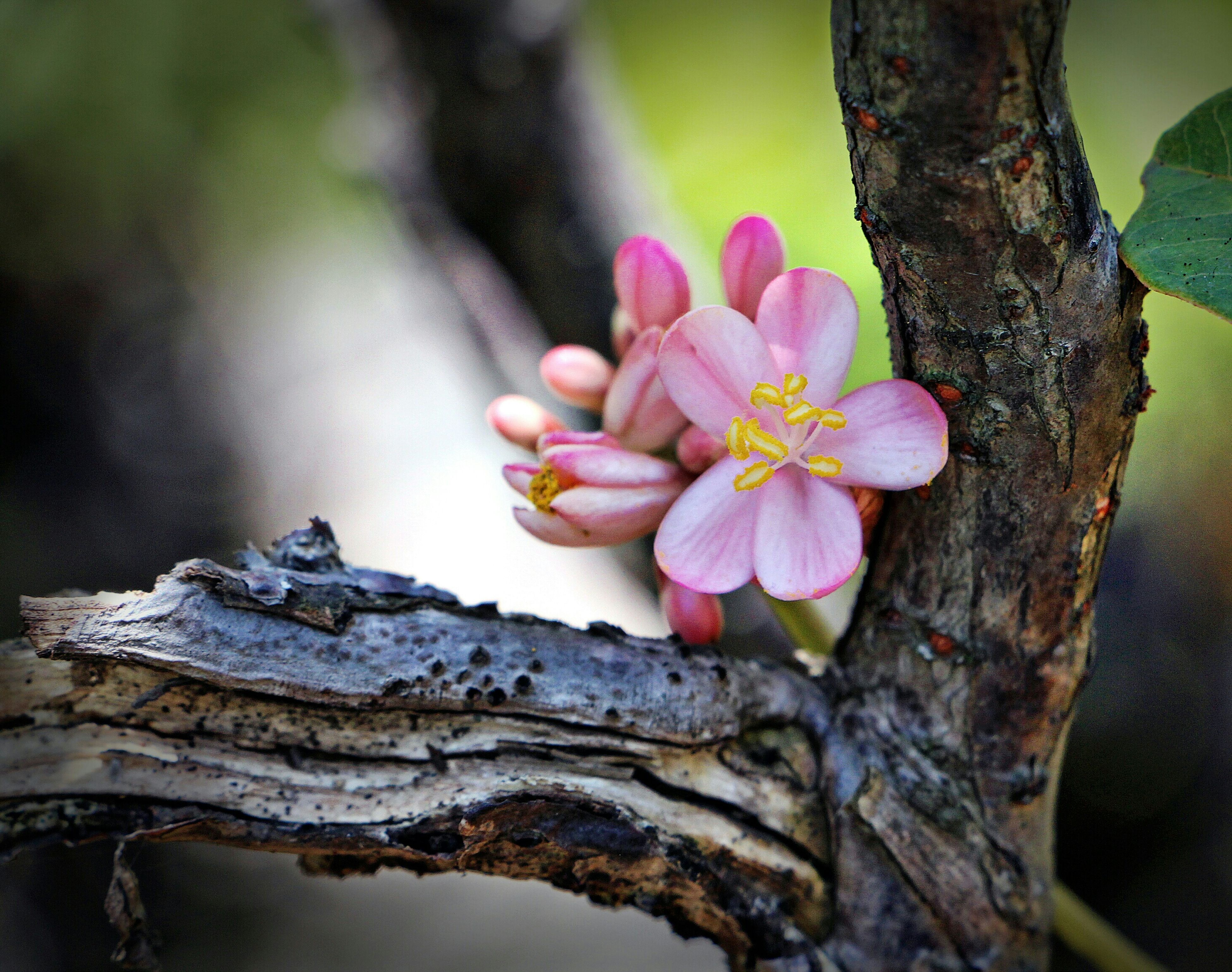 flower, petal, fragility, freshness, close-up, growth, focus on foreground, beauty in nature, flower head, nature, wood - material, tree trunk, single flower, pink color, botany, outdoors, plant, day, selective focus, no people