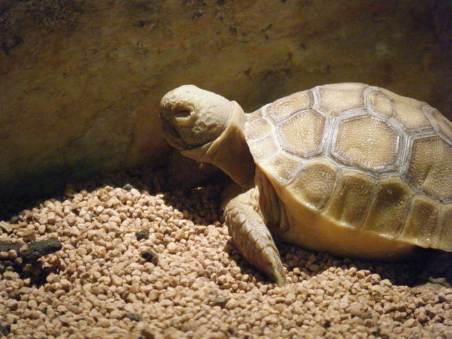 Brown Crawling Pebbles Pet Shell Turtle Closed Eyes