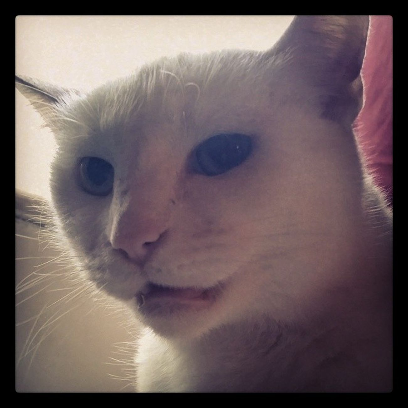 Roxiebaby Catsofinstagram Cats Fiercefelines whitecats familiar lazycatdaze