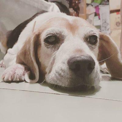 有點無聊 Mymilinbaby Beagle