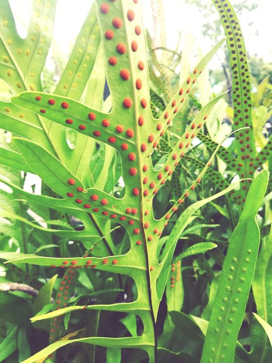 Leaf Green Color Plant Nature Growth Freshness Close-up No People Beauty In Nature Outdoors Day Healthcare And Medicine Herbal Medicine Fragility Fern Spores Asexual Reproduction Garden