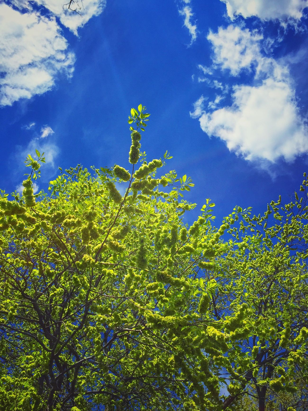 Green flowers in a blue sky Tree Flowers Green Blue Blue Sky Spring Day Spring