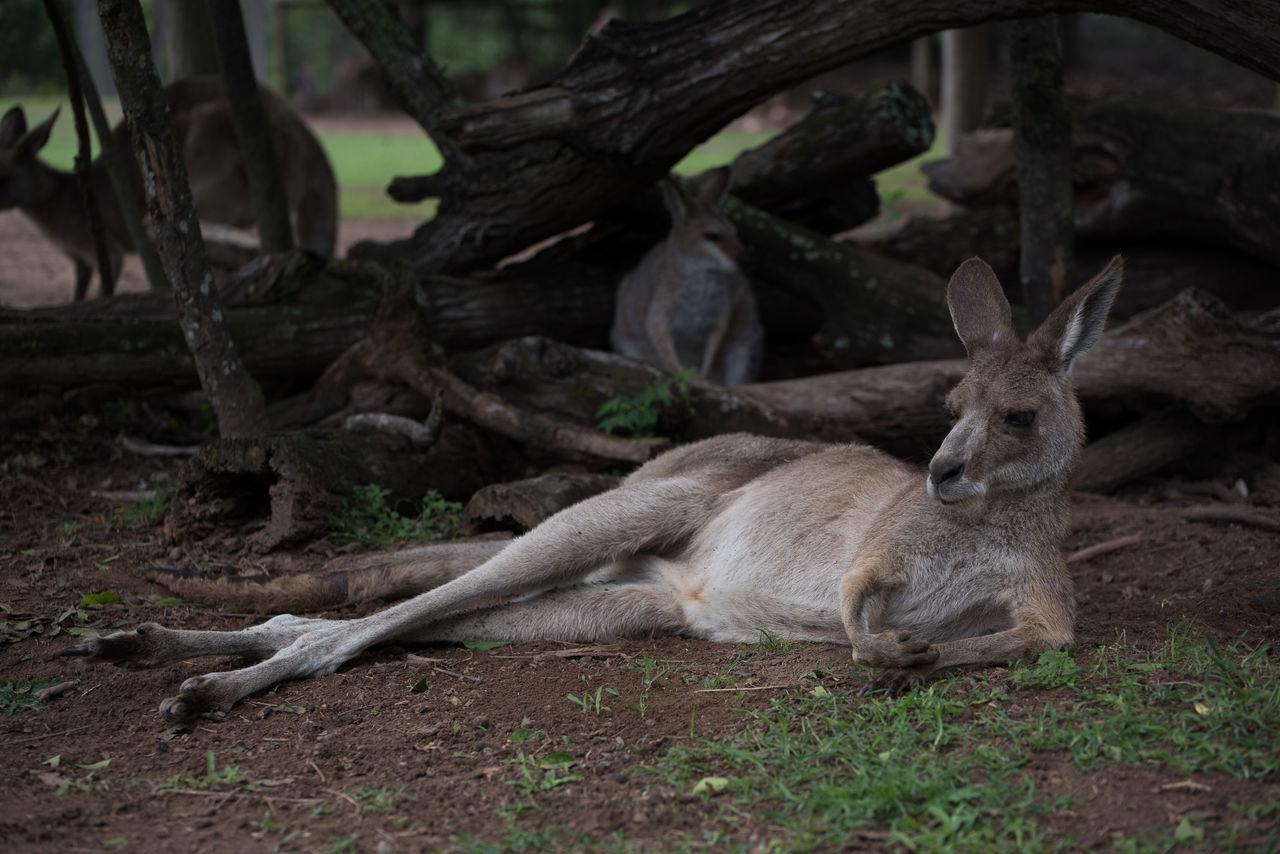 Beautiful stock photos of kangaroo, Animal Themes, Day, Full Length, Group Of Animals