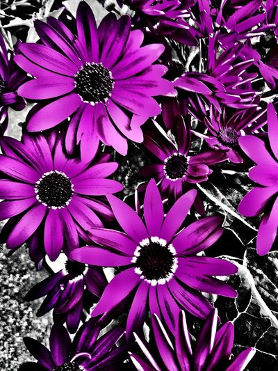 Religion does not kill, cowards hiding behind it do. Purple flowers for all the victims of cowardly acts of meaningless violence. Pray For Belgium Taking Photos My Unique Style Being Creative. Expressing Myself. My Art, My Soul... Popular Photos Infinite Sadness Angry EyeEm Best Shots - Flowers Extreme Edit Purple Colorsplash