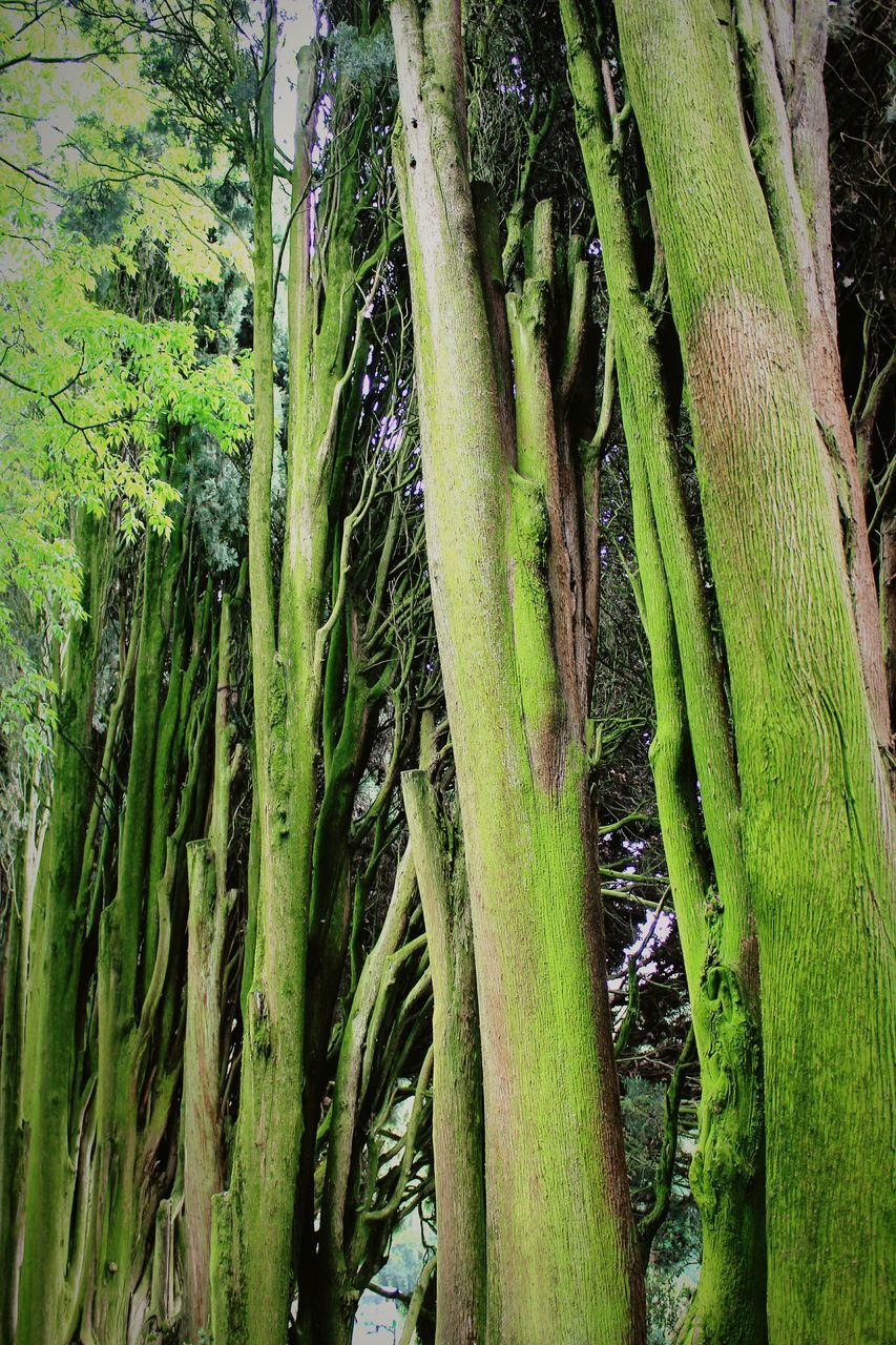 green color, growth, nature, tree, no people, tree trunk, beauty in nature, outdoors, day, bamboo - plant, tranquility, bamboo grove, close-up, freshness