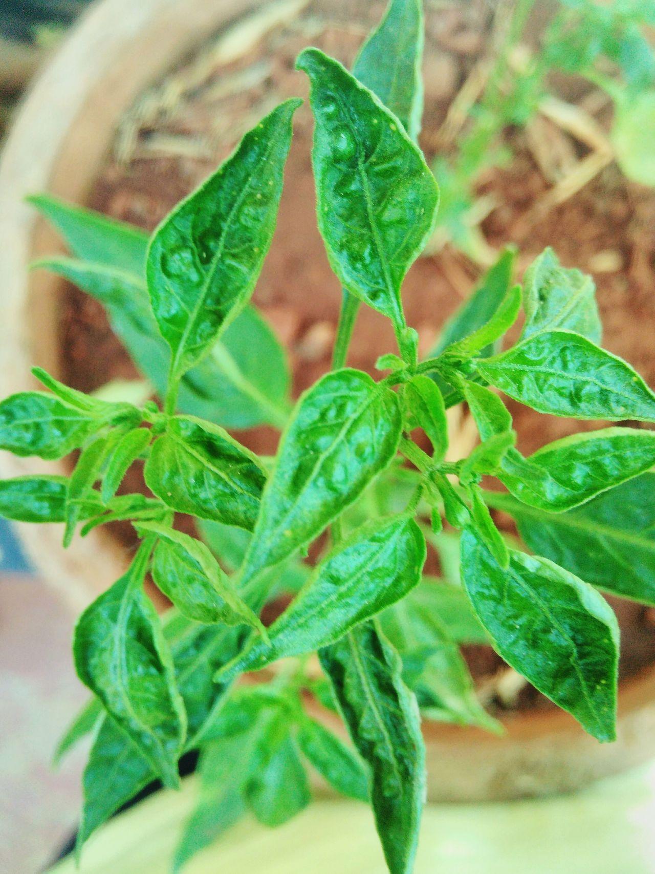 Chilly plant Chilly Plant Leaves Green Color Herb Day HotChilli Potted Plant Leaf Plant No People Growth Close-up Freshness Nature Healthy Eating Food Outdoors