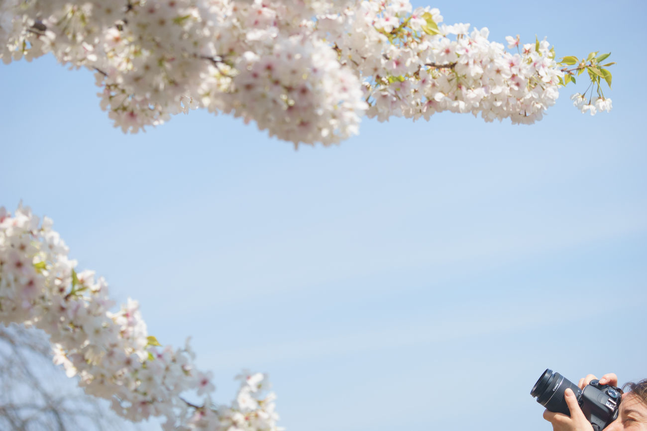 Taking a photo of beautiful sakura Apple Blossom Beauty In Nature Blooming Blossom Branch Cherry Blossoms Chidorigafuchi Clear Sky Day Flower Flower Head Freshness Minimal Nature Outdoors People Photographer Photography Sakura Sky Springtime Streetphotography Taking Photos Tourism Tree