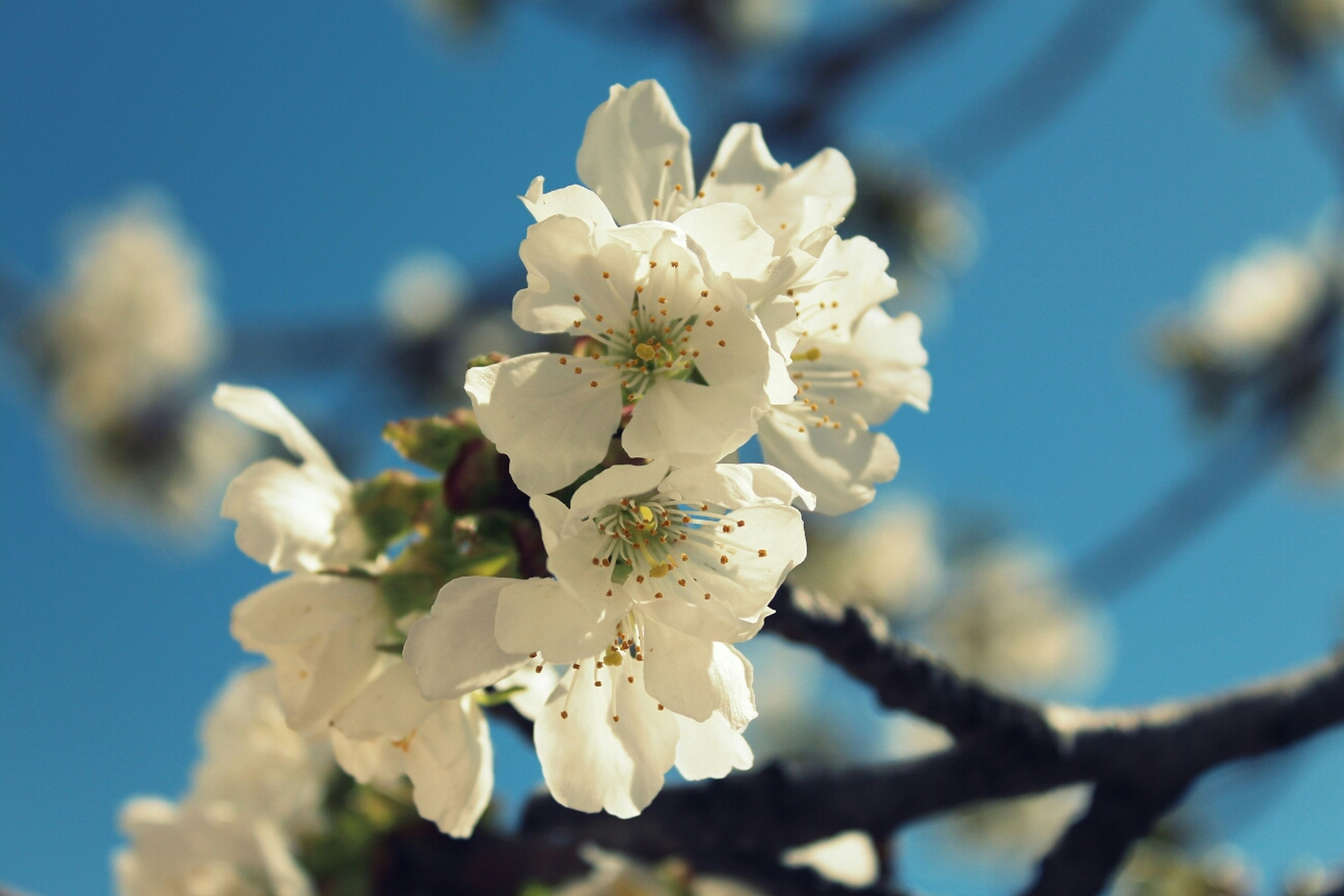 flower, freshness, growth, branch, fragility, cherry blossom, tree, white color, beauty in nature, petal, focus on foreground, nature, blossom, close-up, cherry tree, blooming, twig, flower head, in bloom, fruit tree