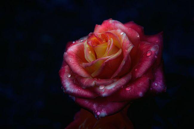 Вечерняя Planting Flower Photography Rose🌹 Nightphotography Night Lights Moon Light