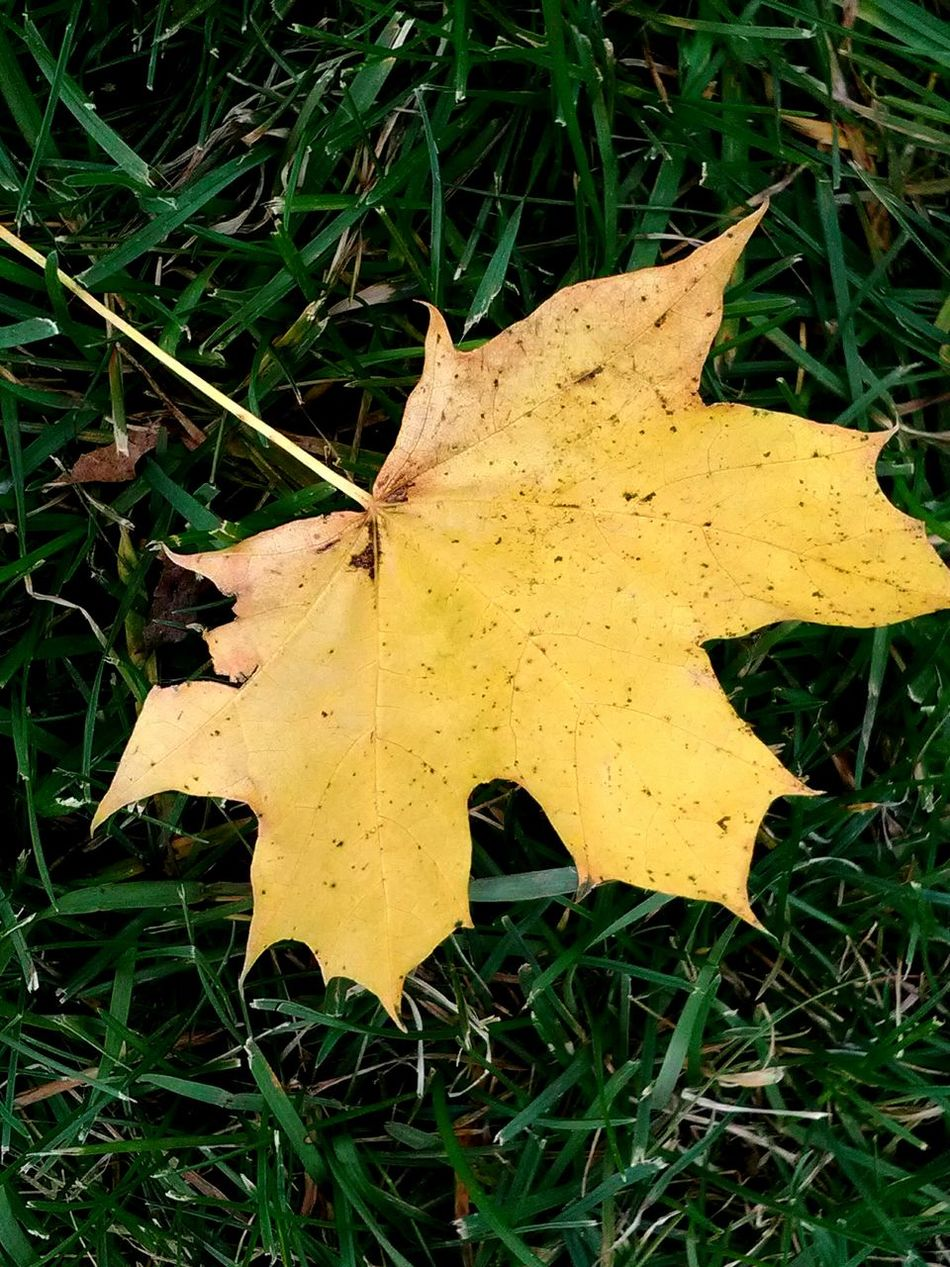Leaf Yellow Green Color Outdoors Nature Close-up 2016♡ Afternoon Walk Loving Nature's Beauty Autumn Collection Autumn Leaf My Photography. ❤ Close Up Nature My Point Of ViewCheck This Out Autumn🍁🍁🍁 Leaf 🍂 Fall Beauty Fall Colors Fallen Leaf Grass Huge Leaf Daytime Leafphotography Leafs On The Ground