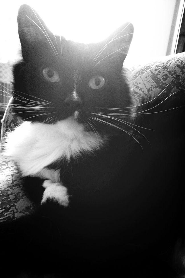 Keksas Cat Blackandwhite