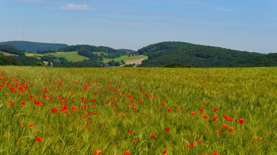 Lovely landscape Landscapes Landscape_Collection Landscapes With WhiteWall Cereal Plant Cereal Field Poppies In Cereal Field Poppies In Bloom Red And Green Colorsplash Wuppertal NRW Nrw Germany Field And Hills Hatzfeld Velbert EyeEm Gallery Summertime Flowers Poppies Blooming Color Palette